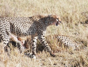 cheetah131